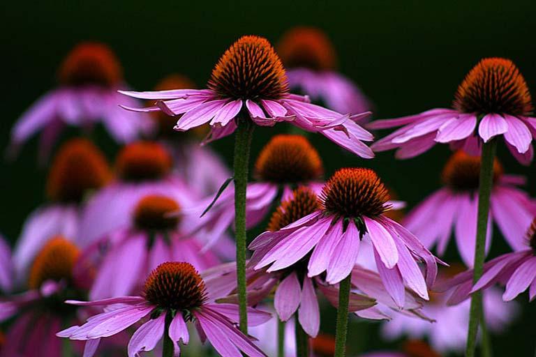 Tác dụng của thảo dược Echinacea