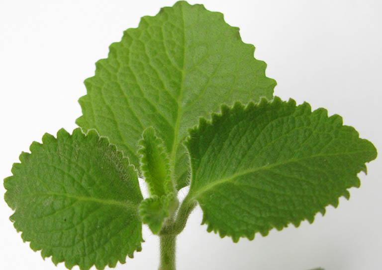 Sử dụng lá húng chanh chữa viêm amidan