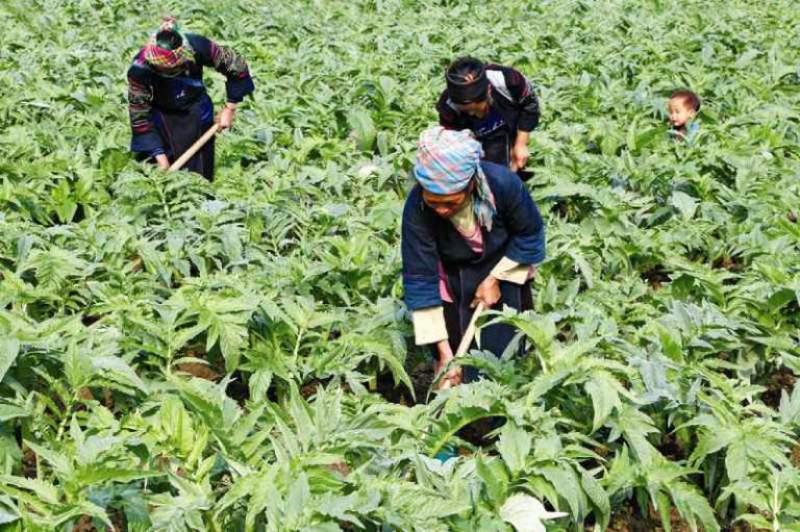 Vườn thảo dược sạch tại Thuốc dân tộcVườn thảo dược sạch tại Thuốc dân tộc