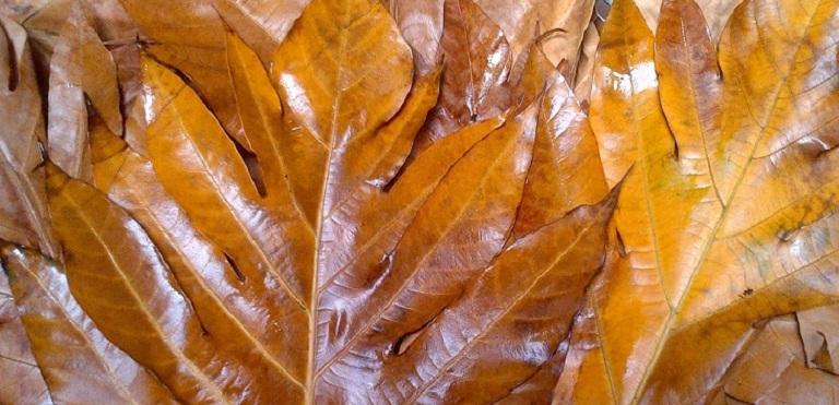Cách dùng lá sake chữa bệnh gout