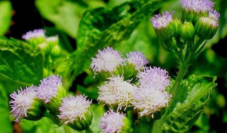chữa viêm xoang bằng hoa xuyến chi