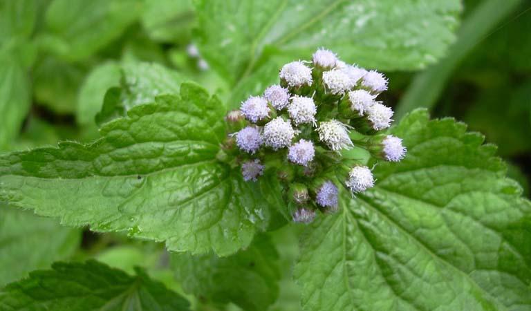 cây hoa xuyến chi trị viêm xoang