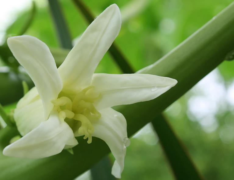 Dùng hoa đu đủ đực chữa bệnh sỏi thận