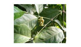 Cây dây leo cao gắm trong tự nhiên được dùng để chế biến thành cao gắm điều trị bệnh gout.