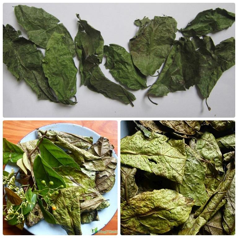 Lá và thân cây bách giải phơi khô để làm thuốc chữa bệnh