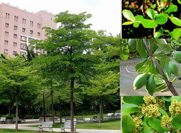 Lá của cây bàng Đài Loan có đặc điểm nhỏ hơn lá của các loại bàng khác