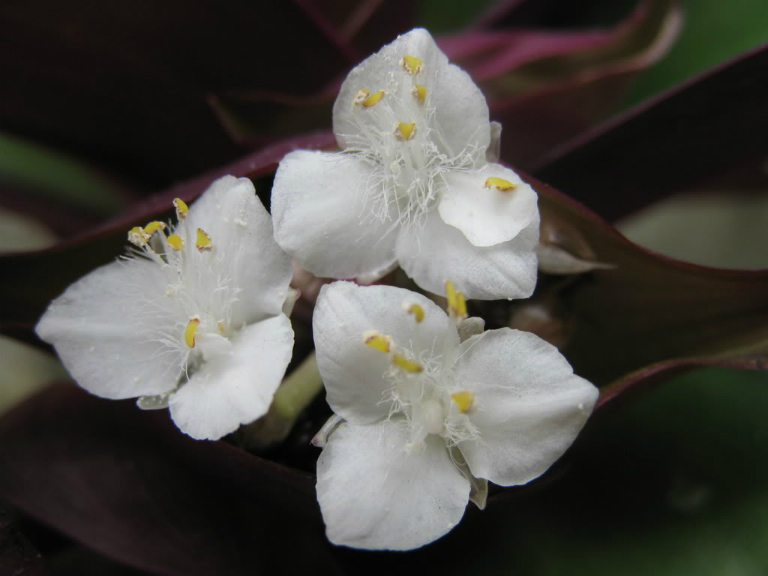 Hoa cây lẻ bạn có màu trắng, nở vào mùa hè. Hoa lẻ bạn là bộ phận được dùng làm thuốc để điều trị bệnh.