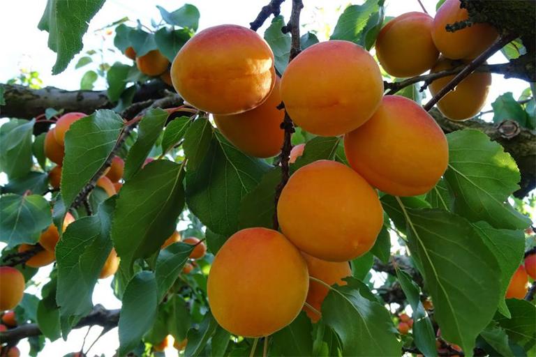 cây ô mai cây ô mai có công dụng gì cây ô mai có tác dụng gì ô mai sạch các loại ô mai ngon ô mai mơ ô mai xí muội quả ô mai tươi