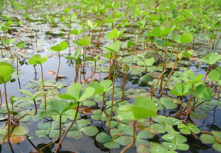 Cây rau bợ thường sống ở môi trường đầm lầy