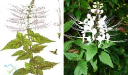 Cây râu mèo hay còn gọi là cây bông bạc, cây mao trao thảo