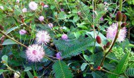 Cây trinh nữ có tên khoa học là Mimosa pudica L