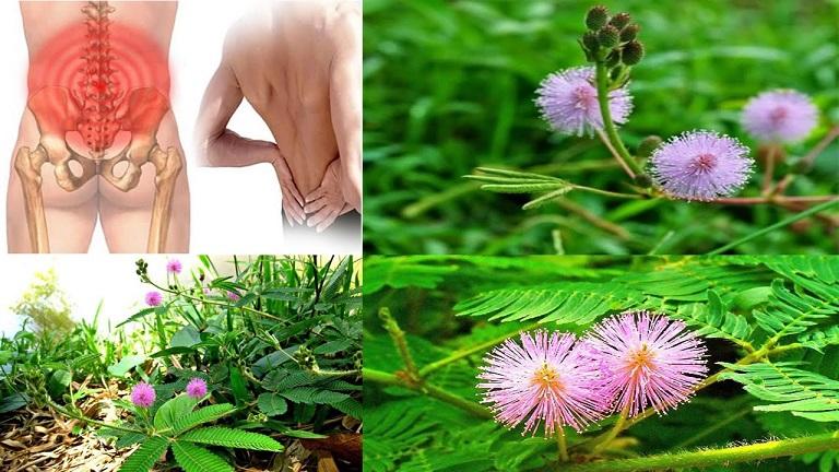 Cây trinh nữ có tác dụng chữa trị đau nhức xương khớp hiệu quả