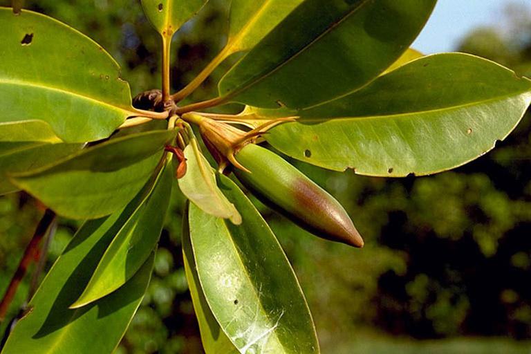 cây vẹt có tác dụng gì