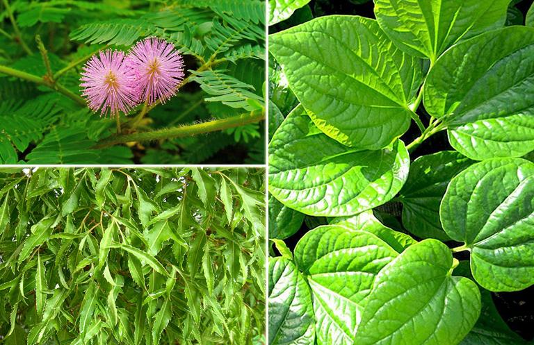 Bài thuốc chữa thoái hóa cột sống bằng lá lốt, cây xấu hổ và cây đinh lăng