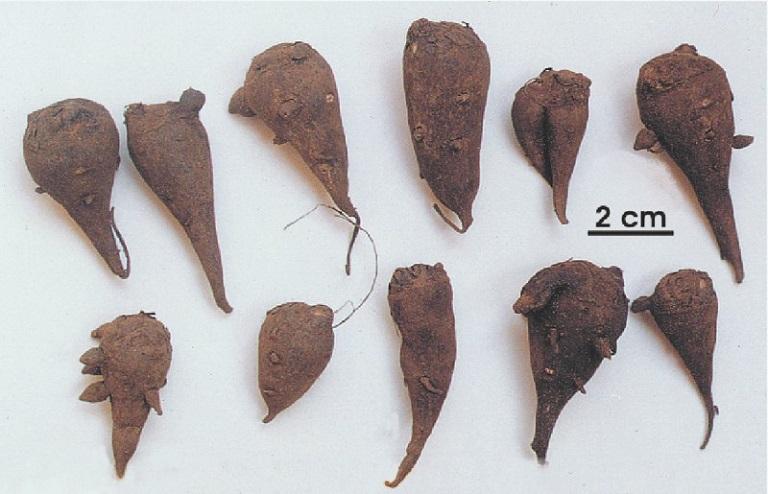 Rễ củ cây ô đầu được sử dụng để bào chế thành thuốc