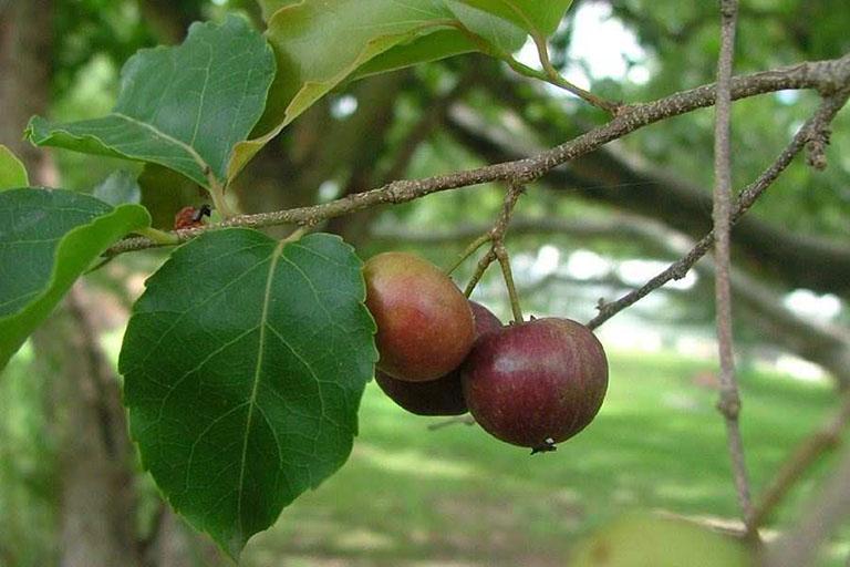 Chữa phì đại tuyến tiền liệt bằng bài thuốc từ cây Bồ quân