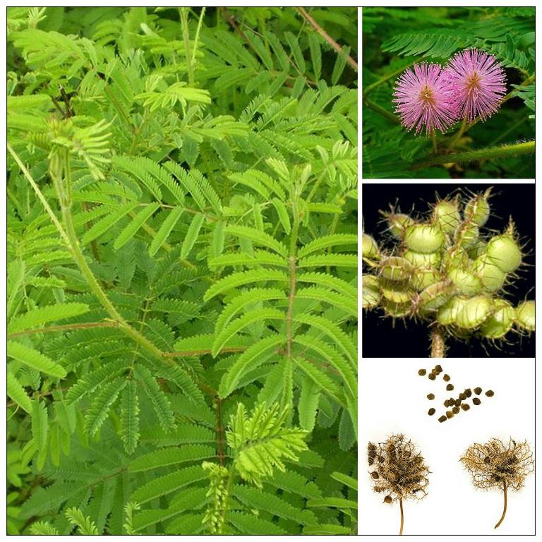 Chi tiết hoa, quả, hạt cây trinh nữ