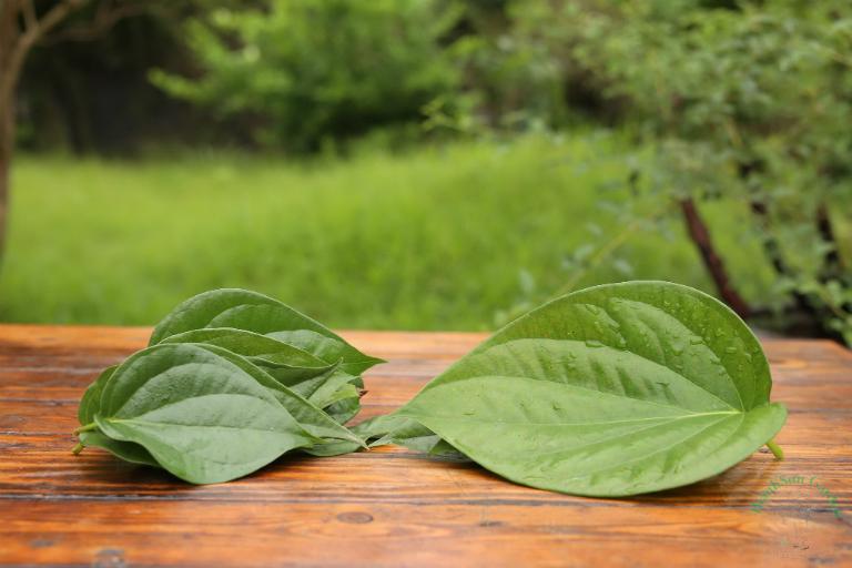 Kết hợp lá trầu với nước dừa cũng là một bài thuốc chữa bệnh gout hiệu quả.