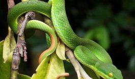 Rắn lục là loài có nọc rất độc