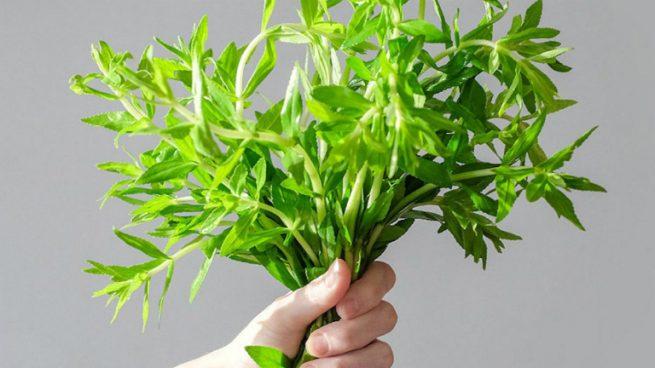 Cây rau ngổ (rau om) còn có rất nhiều công dụng cho sức khỏe mà bạn chưa biết.
