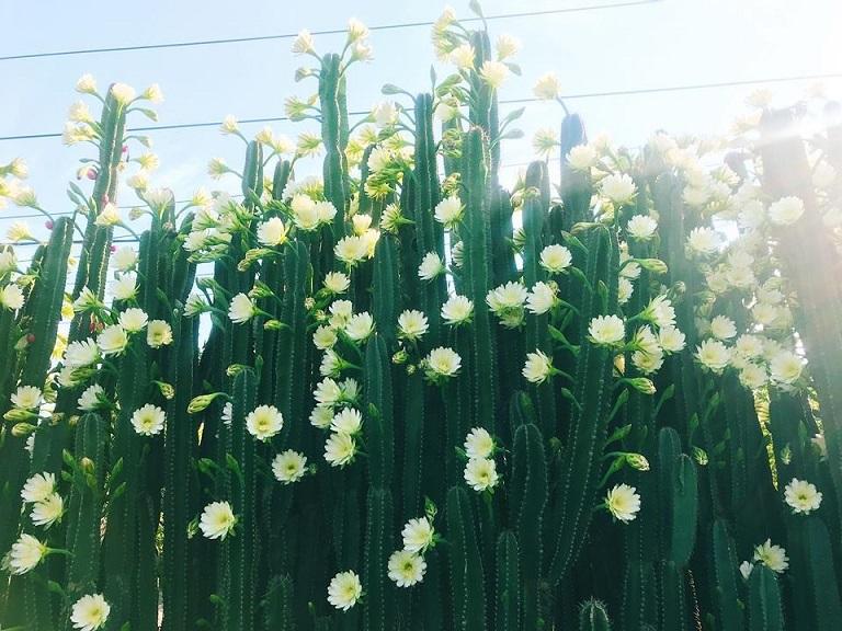 Xương rồng thường được trồng thành hàng rào