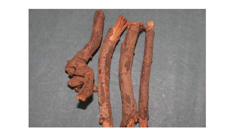 Rễ bạch hoa xà có rất nhiều công dụng trong điều trị bệnh.
