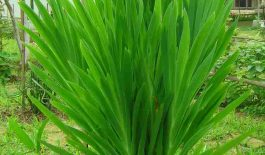 Cây xạ can có tên gọi khác là cây rẻ quạt, cây lưỡi đồng