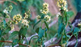 Cây dạ cẩm có tên khoa học là Oldenlandia eapitellata Kuntze