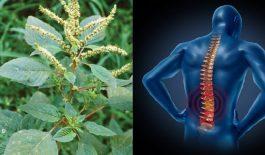 Cây dền gai chứa nhiều canxi giúp chữa gai cột sống hiệu quả