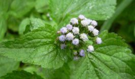 Cây hoa ngũ sắc được dùng để chữa bệnh viêm xoang, đạt hiệu quả cao.