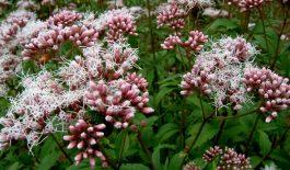 Cây mần tưới cho hoa màu tím, lá có răng cưa. Bộ phận thường dùng đề làm thuốc là thân và lá cây.