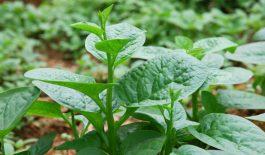 Vì cây mồng tơi có nhiều tác dụng tối đối với sức khỏe nên đã trở thành một vị thuốc chữa được nhiều căn bệnh.