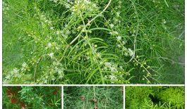 Cây thiên môn có tên khoa học là Asparagus cochinchinensis
