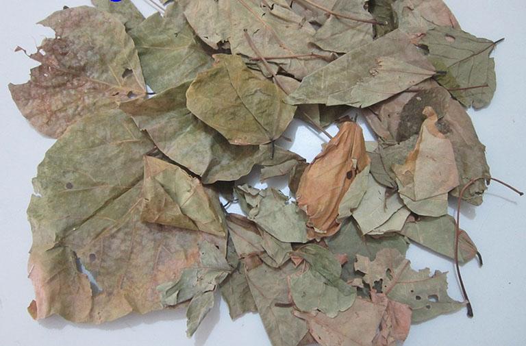 cây vông nem chữa bệnh trĩ