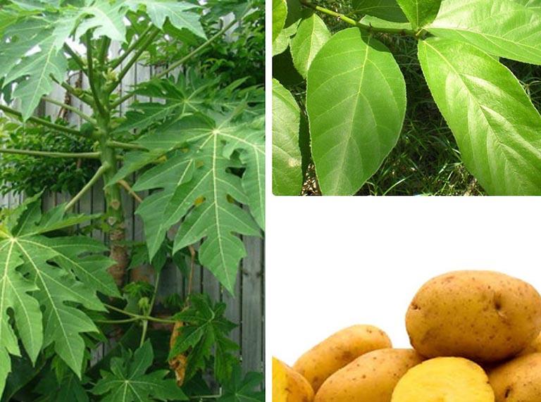 Kết hợp lá đu đủ, lá sung và khoai tây chữa bệnh tổ đỉa