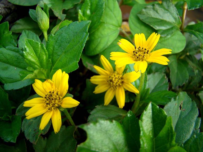 Sài đất là một loại cây thuốc nam chữa bệnh viêm da cơ địa