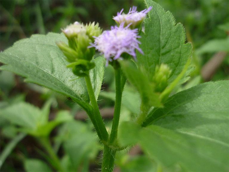 Bài thuốc cây hoa ngũ sắc (hoa cứt lợn) là mẹo vặt dân gian trị viêm xoang được nhiều người biết đến