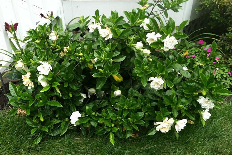 Cây dành dành có tên khoa học là Gardenia jasminoides Ellis