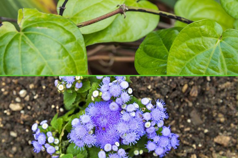 Bài thuốc nhỏ nước hoa ngũ sắc và lá trầu không chữa viêm xoang