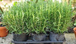 Hương thảo có tên khoa học là Rosmarinus officinalis