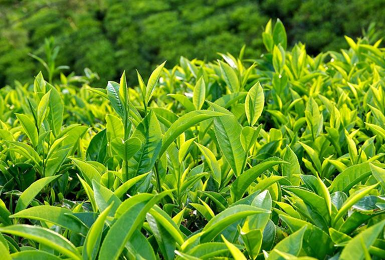 Lá trà xanh chữa viêm da dị ứng