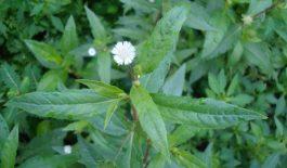 Lá nhọ nồi mang lại nhiều lợi ích cho sức khỏe. Loại cỏ này có khả năng điều trị bệnh viêm xoang.