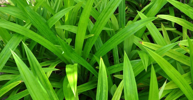 Lá dứa hay còn gọi là nếp thơm là một loại cây thân thảo, lá màu xanh lục.