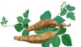 Sắn dây là loại cây leo, có rể phát triển thành củ. Trong dân gian, cây sắn dây là một loại dược liệu dùng để chữa nhiều bệnh lý.