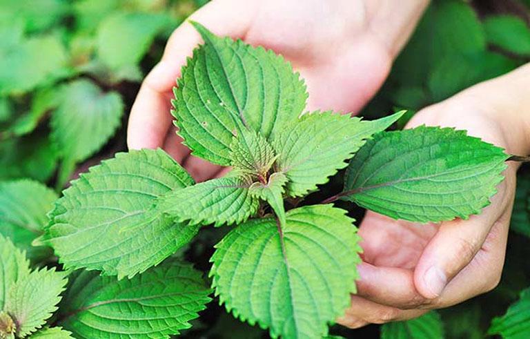 Có thể dùng lá tía tô để điều trị các bệnh về đường hô hấp