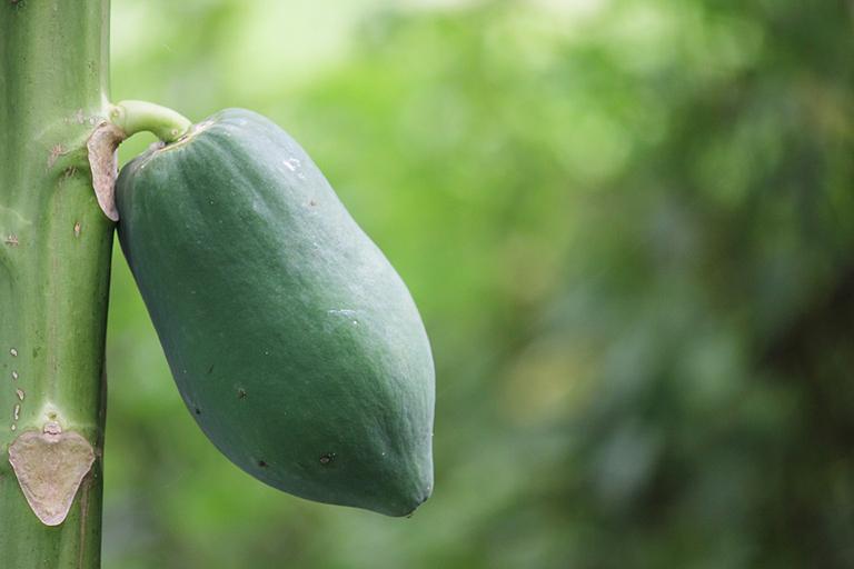 Công dụng tuyệt vời của quả đu đủ xanh giúp điều trị bệnh trĩ