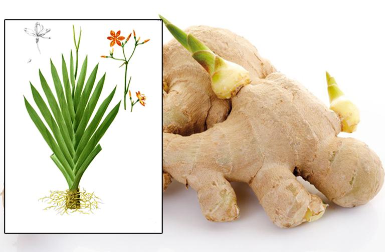 Bài thuốc chữa viêm họng hạt từ gừng tươi và rễ rẻ quạt