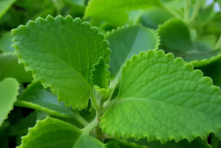 Bài thuốc điều trị viêm họng từ lá húng chanh theo dân gian