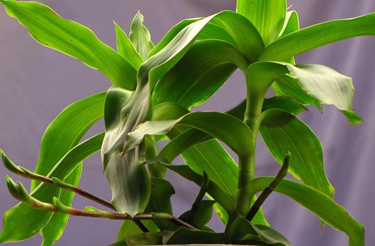Bài thuốc từ lá cây lược vàng chữa viêm mũi dị ứng