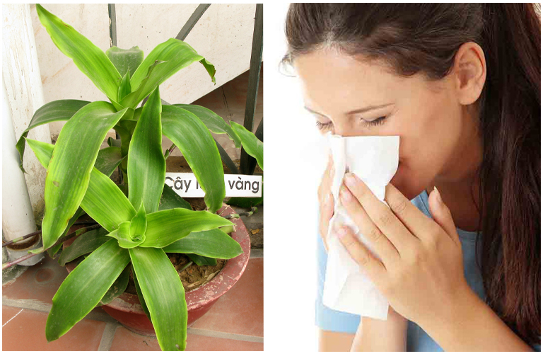 Bài thuốc từ cây lược vàng chữa viêm mũi dị ứng